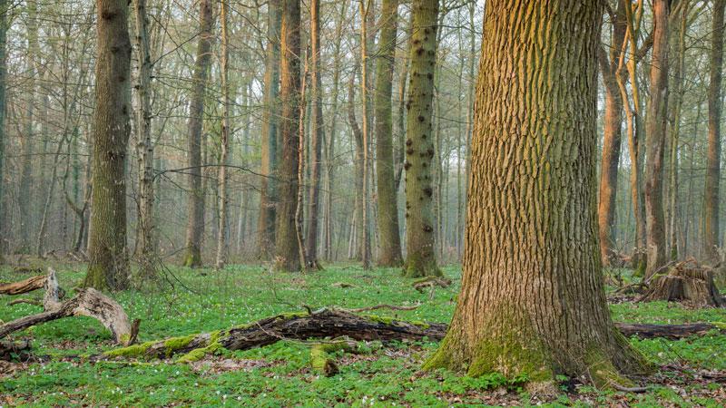 Eichenwald im Frühling
