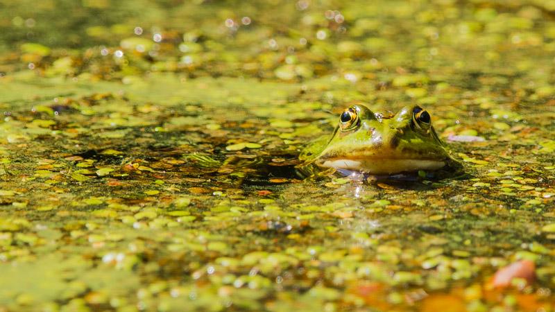 Grünfrosch in neu angelegtem Waldgewässer