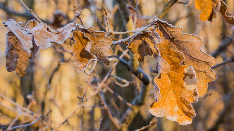 Eichenblätter im Einter