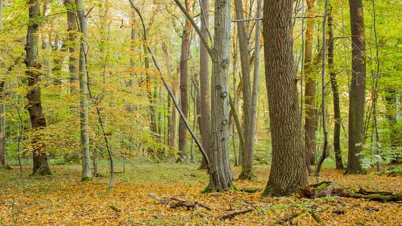 Eichenwald im Herbst