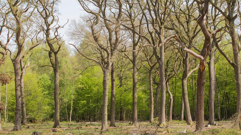 Mittelwald im Kottenforst